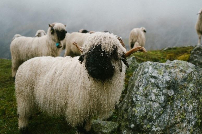 SWISSWOOL hilft die Schweizer Alpen zu erhalten